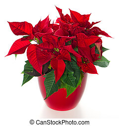 red christmas flower poinsettia over white background