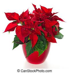 red christmas flower poinsettia over white background