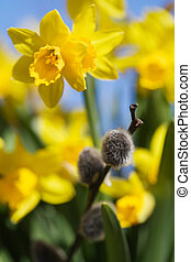 Daffodils - Beautiful spring flowers and branches of willow