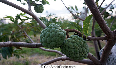 custard apples hang on a tree branch