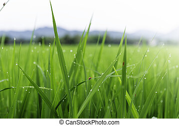 Rice fields with insect and drip on the morning of a clear...