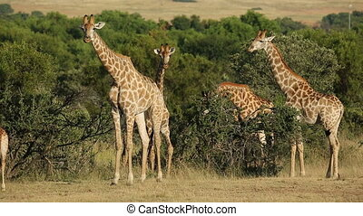 Giraffes in natural habitat - A group of giraffes Giraffa...