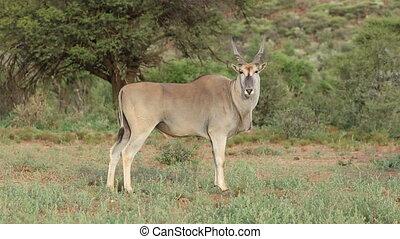 Male eland antelope - Young male eland antelope (Tragelaphus...