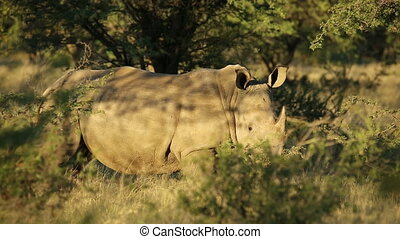 White rhinoceros in natural habitat - A white...