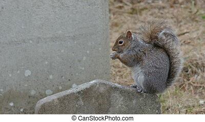 A tiny squirrel munching a peanut on top of a tombstone in...
