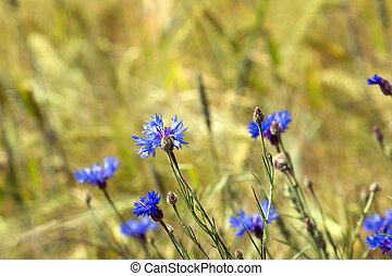 Cornflowers and corn field