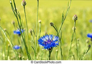 Cornflowers in a field