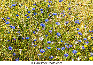 Cornflowers on a field