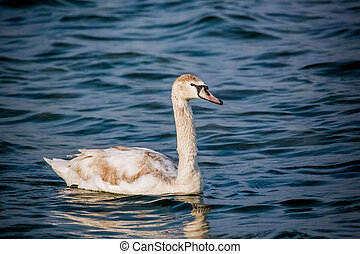 Swans and other waterfowls on the Sea - birds swans sea...