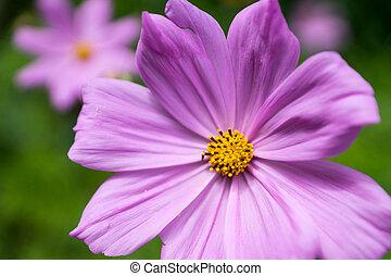 Cosmea flower in a garden