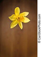 jonquil - Daffodil flower