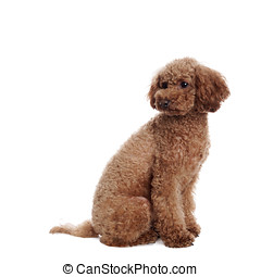 Pretty Poodle in front of white Background