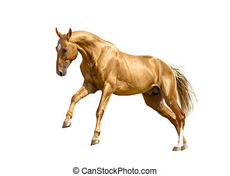 palomino horse isolated on white - golden palomino...