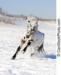 appaloosa pony winter - appaloosa pony stallion in winter