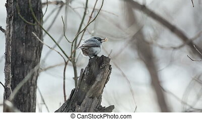 Nuthatch - nuthatch perched on a tree