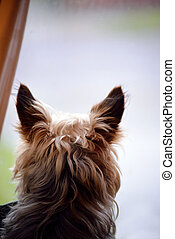 young mini yorkie dog looking out of the window