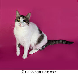 White with spots fat cat playing on pink background