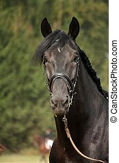Black sport horse portrait with bridle during show