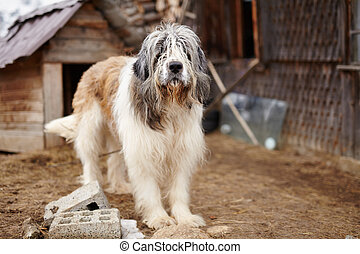 Carpathian Shepherd Dog standing in the yard - Closeup of a...