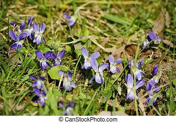 Viola Flower - Wild Viola Flower Over Green Grass