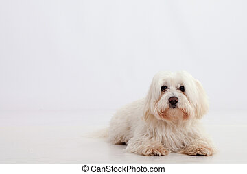 Maltese dog lying on a white background with place for text