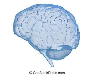 human, cérebro