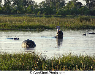 Hippos in Botswana - some Hippos in a river at the Moremi...