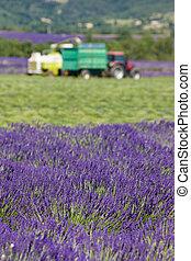 lavender harvest, Alpes-de-Haute-Provence Departement,...