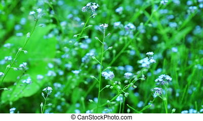 Beautiful blue forget-me-not flowers at field