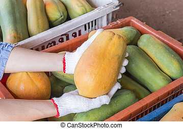 Holland papaya cultivars - papaya, collected from trees to...