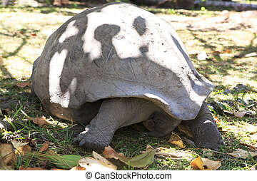 Aldabra giant tortoise in island Curieuse. Seychelles.