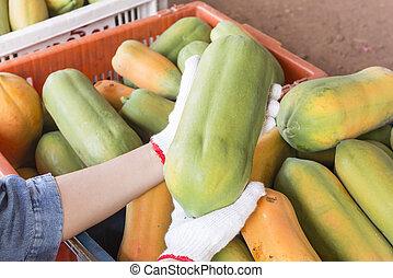 Holland papaya cultivars - papaya, collected from trees to...