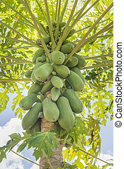 Holland papaya cultivars - Papaya tree in the garden With...