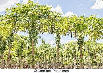 Holland papaya cultivars - Papaya tree in the garden With...
