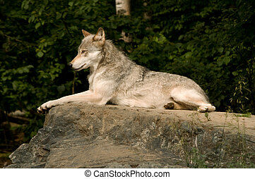 lounging great plains wolf - great plains wolf lounging on a...
