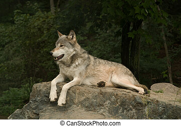growling great plains wolf - great plains wolf growling at...