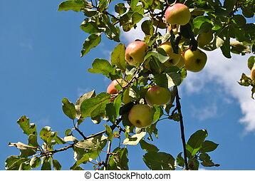 apples 2 - apple harvest