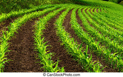 Curved rows of young corn plants on a moist field with dark...