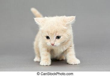 peu, britannique, chaton, beige, couleur,