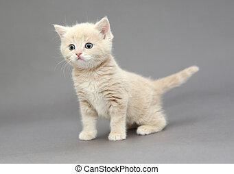 peu, britannique, chaton, beige, color, ,