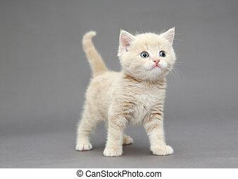 couleur, peu,  beige, britannique, chaton