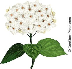 Hydrangea flower - Vector illustrations of white hydrangea...