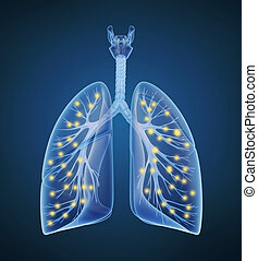 Human lungs and bronchi and oxygen