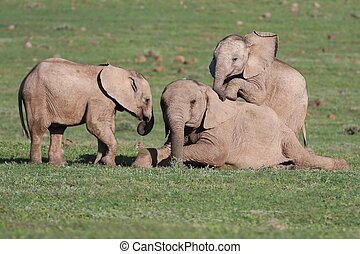 Baby Elephants Playing Games - Young elephants playing games...
