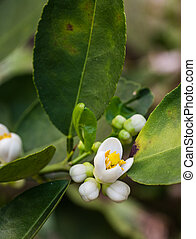 flower orange blossom in spring in pollinating time macro detail