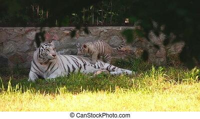 White tigress - Gorgeous white tigress lying on the grass...