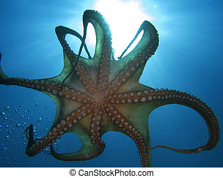 "Tentacles - Octopus tentacles (""Octopus Vulgaris"") and..."