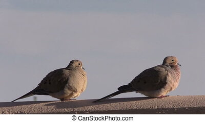 Mourning Doves - a pair of mourning doves on a fence