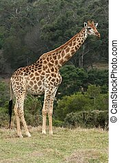 Giraffe - Handsome giraffe standing in the African bush