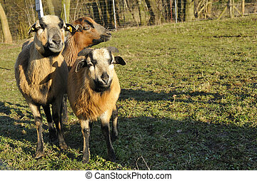 Kamerun Sheep - Ovis ammon aires, Kamerun Sheep